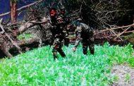 বান্দরবান :: ফের সেনাবাহিনীর অভিযানে বিপুল পরিমাণ নিষিদ্ধ পপি ক্ষেত (আফিম) ধ্বংস