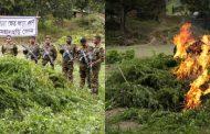 খাগড়াছড়িতে সেনাবাহিনীর অভিযান :: শতকোটি টাকার গাঁজা ধ্বংস