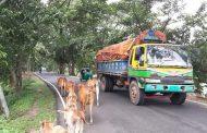 রাঙ্গামাটি শহরের প্রধান সড়কে যত্রতত্র গরুর বিচরণ, মাথাব্যথা নেই পৌর কর্তৃপক্ষের